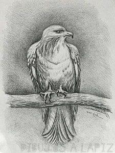 alcon dibujo