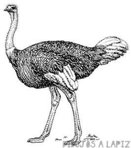avestruz animada