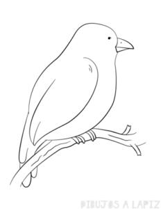 clases de canarios