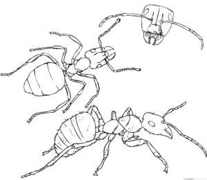 como dibujar una hormiga facil