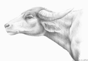 dibujos de bufalos para colorear