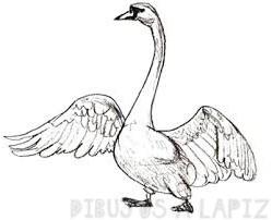 dibujos de cisnes a color