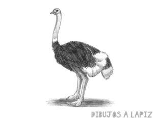 fotos de avestruz para imprimir