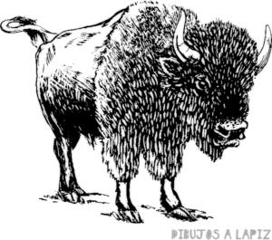 fotos de bufalos africanos