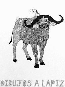 fotos de bufalos de agua