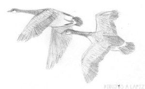 fotos de gansos salvajes