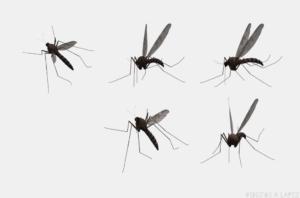 fotos de mosquitos