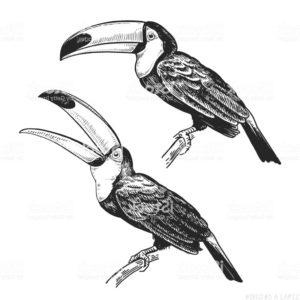 fotos de tucanes aves