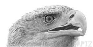 halcon en dibujo