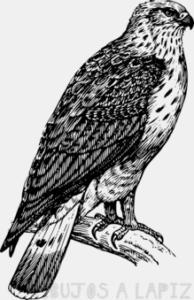 halcon para colorear