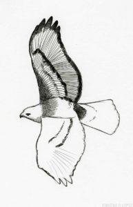 halcon peregrino dibujo