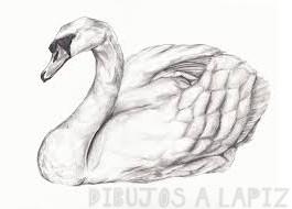 imagenes cisnes enamorados