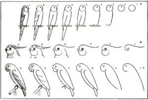 imagenes de loros para dibujar