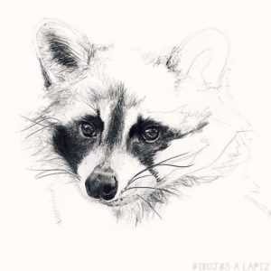 imagenes de mapaches para dibujar