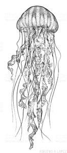 imagenes de medusas para colorear