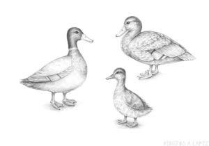 pato para niños