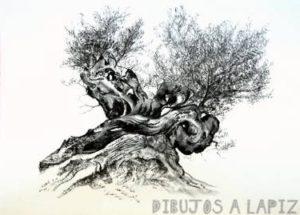 bonsai de olivo