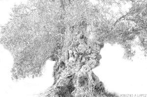 fotografia olivos