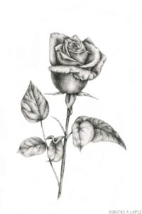 rosas para dibujar a lapiz